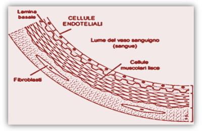 immag.endotelio